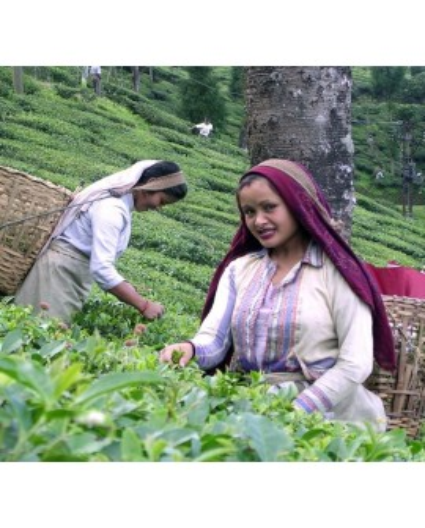 Čajová záhrada Darjeeling Ambootia
