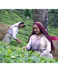 Darjeeling FTGFOPI Green Ambootia