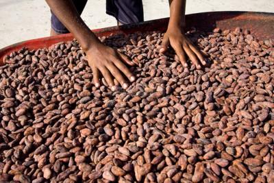 sušené kakaové bôby