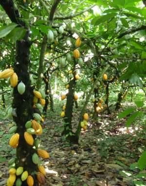 kakaovniky v prirodzenom prostredí