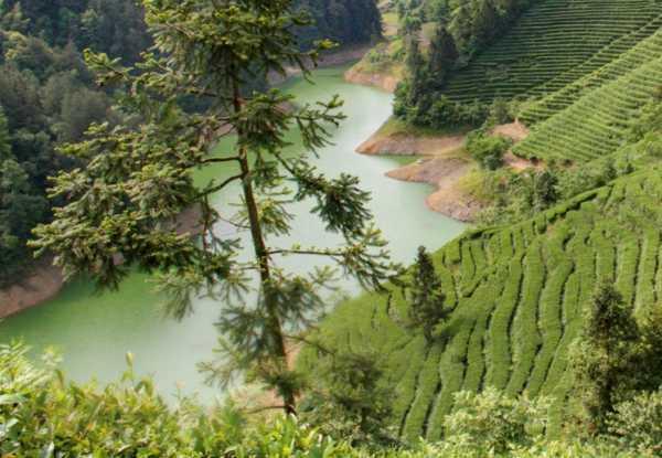 plantáž čajová